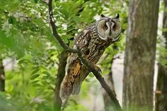 Gufo comune-Long eared owl. (Riccardo Bocconi.) Tags: