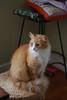 Reds (rootcrop54) Tags: jimmy orange ginger tabby male red fluffy longhaired tail handweight stool neko macska kedi 猫 kočka kissa γάτα köttur kucing gatto 고양이 kaķis katė katt katze katzen kot кошка mačka gatos maček kitteh chat ネコ