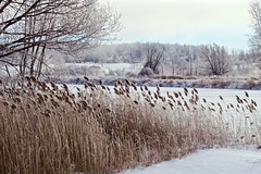 From a frozen Cornwall Canal (deanspic) Tags: canal frozen cornwallcanal cornwallisland reeds fragmities frost mist g3x