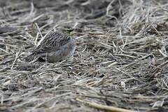 Horned lark (Mel Diotte) Tags: horned lark bird