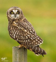 King Of The Golf Course (Short-Eared Owl) (The Owl Man) Tags:
