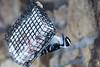 Downy Woodpecker on Suet (U.S. Fish and Wildlife Service - Midwest Region) Tags: minnesota mn fortsnelling statepark nature december 2017 winter fall woodpecker downy female feeder bird birds birding suet