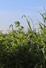 CKuchem-2094 (christine_kuchem) Tags: acker ackerrand agrarlandschaft biene bienenfreund bienenweide blühstreifen blüte boden bodenverbesserung dünger düngung eiweis eiweiserbsen erbsen feld felder grün gründünger insekten klee kulturlandschaft landwirtschaft lupinen mischung nahrung nektar phacelia pisumspec ramtillkraut sommer verbesserung winter winterroggen bio biologisch blau lila naturnah natürlich