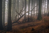 You don't belong here (chrismarr82) Tags: nikon woods muirshiel tree fallen fog atmosphere
