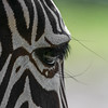 NOT the eye of the tiger (ralfkai41) Tags: wimpern zebra eyelashes porträt auge tier eye portrait natur animal