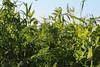 CKuchem-2059 (christine_kuchem) Tags: acker ackerrand agrarlandschaft biene bienenfreund bienenweide blühstreifen blüte boden bodenverbesserung dünger düngung eiweis eiweiserbsen erbsen feld felder grün gründünger insekten klee kulturlandschaft landwirtschaft lupinen mischung nahrung nektar phacelia pisumspec ramtillkraut sommer verbesserung winter winterroggen bio biologisch blau lila naturnah natürlich