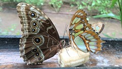 love (omnia_mutantur) Tags: papillons farfalle butterflies mariposas martinica martinique antilles antillas caraibi caraibes caribbean caribe habitationlatouche lecarbet animali animal animaux animales ali alas wings ailles 972