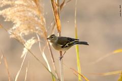 Pinsà - Pinzón (Enllasez - Enric LLaó) Tags: aves aus bird ocells pájaros pinsà pinzón deltadelebre deltadelebro delta rietvell 2017