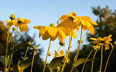 Rudbeckia Herbstonne in the Garden (Mark Wordy) Tags: rudbeckiaherbstonne mygarden summer evening flowers