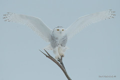 Welcome.. (Earl Reinink) Tags: bird animal outside outdoors wings flight earl reinink earlreinink niagara nikon winter welcome owl raptor perch aauduuuaia snowyowl