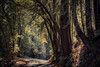 In the Woods (rohitsanu1) Tags: woods hikingtrail natural forest vignette usa unitedstatesofamerica california trees branches path allnature warm hiking leaves shadows canon canon5dmarkii canon24105mmf4l ca amateur photography photographer photographerlife nopeople