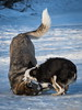 Take Down... Chinook & Bella (DGC Photography.ca) Tags: dogs dogpark sticks stick bigdoglittledog australianshepherdmini huskycross husky mixedbreeddog collie flatcoatedretriever winter snow dougcallow calgary alberta canada