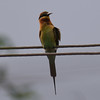 Blue-tailed bee-eater (praveen.ap) Tags: bluetailed beeeater bluetailedbeeeater blue tailed bee eater ousteri osudu lake pondicherry