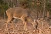 Post rut buck (Lindell Dillon) Tags: buck deer whitetail wildife nature oklahoma crosstimbers winter wildoklahoma