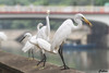 snowy Egrets - meal (cattan2011) Tags: 香港 hongkong birds traveltuesday travelbloggers travelphotography travel egrets snowyegrets wildlifewednesday wildlifeplanet wildlifephotography wildlife naturelovers natureperfection naturephotography nature landscapephotography landscapeportrait