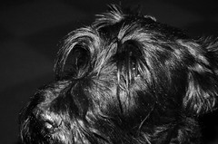 Black and Black !!! (François Tomasi) Tags: dog scottishterrier terrierécossais yahoo google flickr françoistomasi tomasiphotography reflex nikon digital numérique pointdevue pointofview pov blackandwhite noiretblanc monochrome france europe photo photographie photography photoshop sombre dark lanouvellerépublique touraine indreetloire tours villedetours décembre 2017