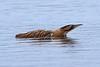 bittern (Explore) (DODO 1959) Tags: wildlife wales nature animal avian bittern fauna heron swimming water kenfig nnr olympus omdem1mk2 300mmf4 micro43 x14 outdoor reeds birds