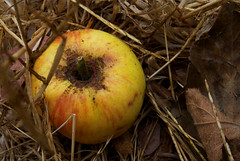 What We Have Shed (hifiviscera) Tags: fruit fall apples leaves yellow red brown nature color