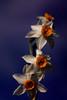 """SDIM5179- sd1- """"Narciso"""" - voigtlander color-skopar 62mm f5.6 (ciro.pane) Tags: sigma sd1 merrill foveon narciso selvatico promontorio punta campanella italia italy italien italie surriscaldamento clima fioriture anticipate voigtlander colorskopar enlarging lens contributo sfocato bokeh"""