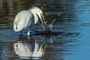 Making a Splash (Michael Allen Siebold (Getty Images Contributor)) Tags: water bird fish fishing hunting hunter egret snowyegret splash reflection ripple panamacitybeach
