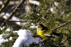 Evening grosbeak (steelers_#1fan) Tags: winter canada canon sigma 150600mm weather ontario amateurs photographerlife cottage cottagelife colour eveninggrosbeak bird blackandyellow bokeh