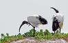 Atop the sandy dunes..... (Coisroux) Tags: wildlife birdlife portrait dunes sand vegetation plumage feathers sky beaks d5500 nikond nikond5500 highkey southafricanwildlife birdsofsouthafrica peninsula oceanbirds threskiornisaethiopicus ibis egret