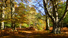 New Forest NP, Hampshire, England (east med wanderer) Tags: england hampshire uk newforestnationalpark dennywood woodland oak beech holly bracken nationalpark