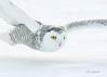Skimming the Surface (CR Courson) Tags: snowyowl snow winter owls owl raptors birds birdphotography birdsinflight birdsofprey crcourson chuckcourson