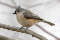Tufted Titmouse 12-30-2017 (Scott Alan McClurg) Tags: animalia aves bbicolor baeolophus chordata neoaves neognathae neornithes paridae passeri passerida passeriformes animal bird bokeh flickrbirds forest green life nature naturephotography perch perching portrait songbird suburbs titmouse tree tufted tuftedtitmouse wild wildlife winter yard