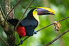 Yellow-throated Toucan Dec17-3316 (justl.karen) Tags: toucan costarica bird birds toucans yellowthroatedtoucan