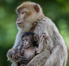 Barbary Macaques (Roantrum) Tags: bedfordshire roantrum woburnsafaripark barbarymacaque macacasylvanus