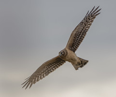 From the blind (AnthonyVanSchoor) Tags: northern harrier hunting blind nikond7100 tamron150600mmtelephotolens easternshoremaryland