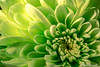 3/365 2018 It's All Green (crezzy1976) Tags: nikon d3300 crezzy1976 photographybyneilcresswell nikkor40mm indoor 365 365challenge2018 flower floral bloom nature green day3 photoaday closeup macro colorsinourworld