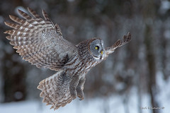 Think I'll go hunting.. (Earl Reinink) Tags: animal bird nature naturephotography birdphotography winter wings owl raptor woods trees eyes snow outside earl reinink earlreinink iueaadtdta forest