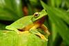 Litoria gracilenta (nicgambold) Tags: amphibian litoria hylidae australianwildlife byronbay tweed green rainforest amplexus frog treefrog herptofauna gracilenta