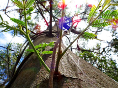 Rainbow tree (jo.elphick) Tags: rainbow australiannativetree ulladulla nsw australia australian native bush
