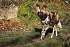 African painted dog (Cloudtail the Snow Leopard) Tags: wildhund tier animal mammal säugetier raubtier afrikanischer lycaon pictus hund african wild dog cape hunting painted wolf zoo basel