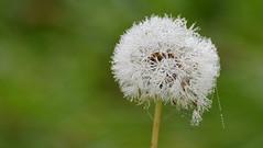 Tropfenfänger (karinrogmann) Tags: löwenzahn pusteblume tau dandelion dew dripcatcher dentedileone rugiada salvagocce nikonafszoom70300mm