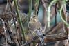 Zum ersten Mal in diesem Winter ist ausgerechnet am Neujahrstag ein Grünfink bei uns aufgetaucht - For the first time in this winter, a greenfinch has come to our feeder, precisely on New Year's Day (riesebusch) Tags: berlin garten marzahn vögel