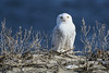 Snowy Owl (jt893x) Tags: 150600mm bird buboscandiacus d500 jt893x nikon nikond500 owl raptor sigma sigma150600mmf563dgoshsms snowyowl coth alittlebeauty thesunshinegroup sunrays5 coth5