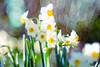 narcissus / 水仙の花 (Hideo N) Tags: fantasticflower narcissus