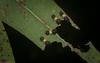 Limacodid caterpillar crew (dustaway) Tags: arthropoda insecta lepidoptera limacodidae doratiferavulnerans caterpillar catepillars cupmothlarvae leaf forestredgum tullerapark tullera northernrivers nsw nature australia australianmoths australianinsects