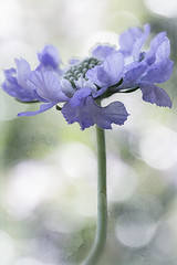 Blue (_Jacqui_) Tags: flowerswithtexture textured blue flower blueflowers garden floral bluefloral bokeh