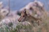 IMG_2319 (Pedro del Prado) Tags: cabramontã©s cerrogordo espaciosnaturales fauna mamiferos torrox
