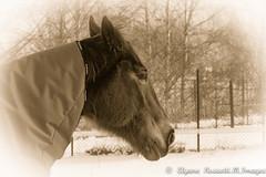 Hiver d'Autrefois (Elyane11) Tags: cheval sepia hiver
