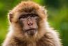 Berberaffeenporträt (noise-fotografie.de) Tags: tierpark zoo säugetiere affen tiere berberaffe affe animal ape apes barbaryape barbarymacaqu macacasylvanus säuger säugetier säugetierart säugetierarten tier magot mammal mammalian