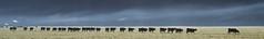 On va... (J&S.) Tags: france hautesavoie samoëns vache troupeau nature agriculture élevage matin brume automne
