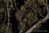 黃魚鴞 IMG_2712 (sullivan™) Tags: canoneos7dmarkii ef400mmf56lusm adobephotoshoplightroom5 animal bokeh dof newtaipeicity nature suhaocheng taiwan ketupaflavipes 浩子 新北市 野生鳥類 二次構圖 裁切 格放 第二級珍貴稀有保育類 sullivan 黃魚鴞 黃腿漁鴞 魚木兔 毛腳魚鴞 第二級保育類 稀有留鳥 貓頭鷹 tawnyfishowl 魚堀溪 烏來 新店 坪林 石碇 福山 翡翠水庫 南勢溪 北勢溪 桶後溪 大羅蘭溪 平廣溪 金瓜寮溪 姑婆寮溪 魚逮魚堀溪 逮魚堀溪