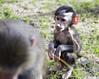 Baby Hamadryas Baboon (San Diego Shooter) Tags: hamadryasbaboon baboon babyanimal sandiego sandiegozoo animal portrait bokeh monkey