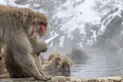 _RJS2231 (rjsnyc2) Tags: 2017 asia d850 day hokkaido japan monkeypark nagano nikon nikond850 onsen park remotesilver remoteyear richardsilver richardsilverphoto richardsilverphotography snowmonkeys travel travelphotographer travelphotography travelphotographykampot unesco animals monkey snow winter
